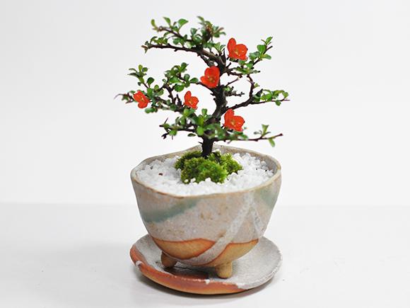 花もの、ウメの盆栽