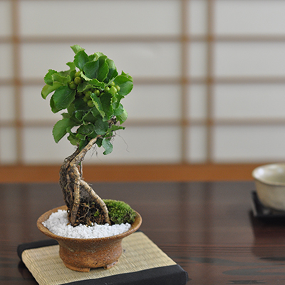 ウメモドキ盆栽